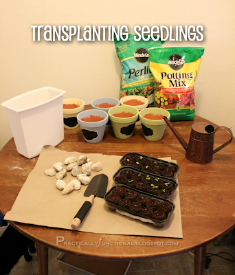{How to} Transplanting seedlings