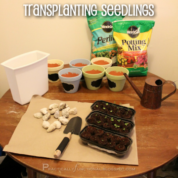 How To Transplant Seedlings [Herb Garden Series]
