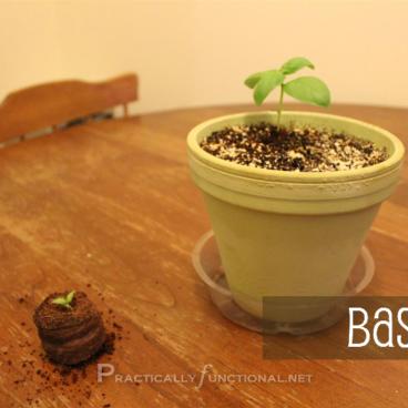 Basil seedling in pellet vs. basil seedling in pot