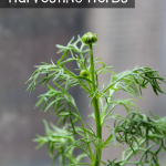 How to harvest your herbs