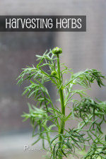 How To Harvest Your Herbs [Herb Garden Series]