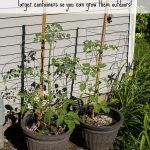 How to transplant tomatoes: Learn how to transplant tomato seedlings into larger contains so you can grow them outdoors!