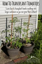 How To Transplant Tomato Seedlings Into Larger Containers