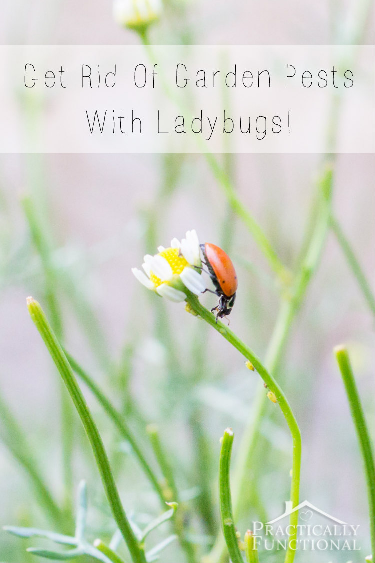 How to get rid of garden pests with ladybugs - How to get rid of bugs in garden ...