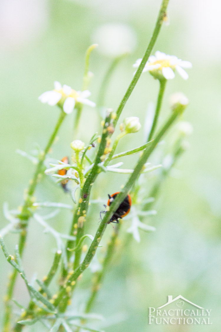how to get rid of garden pests with ladybugs