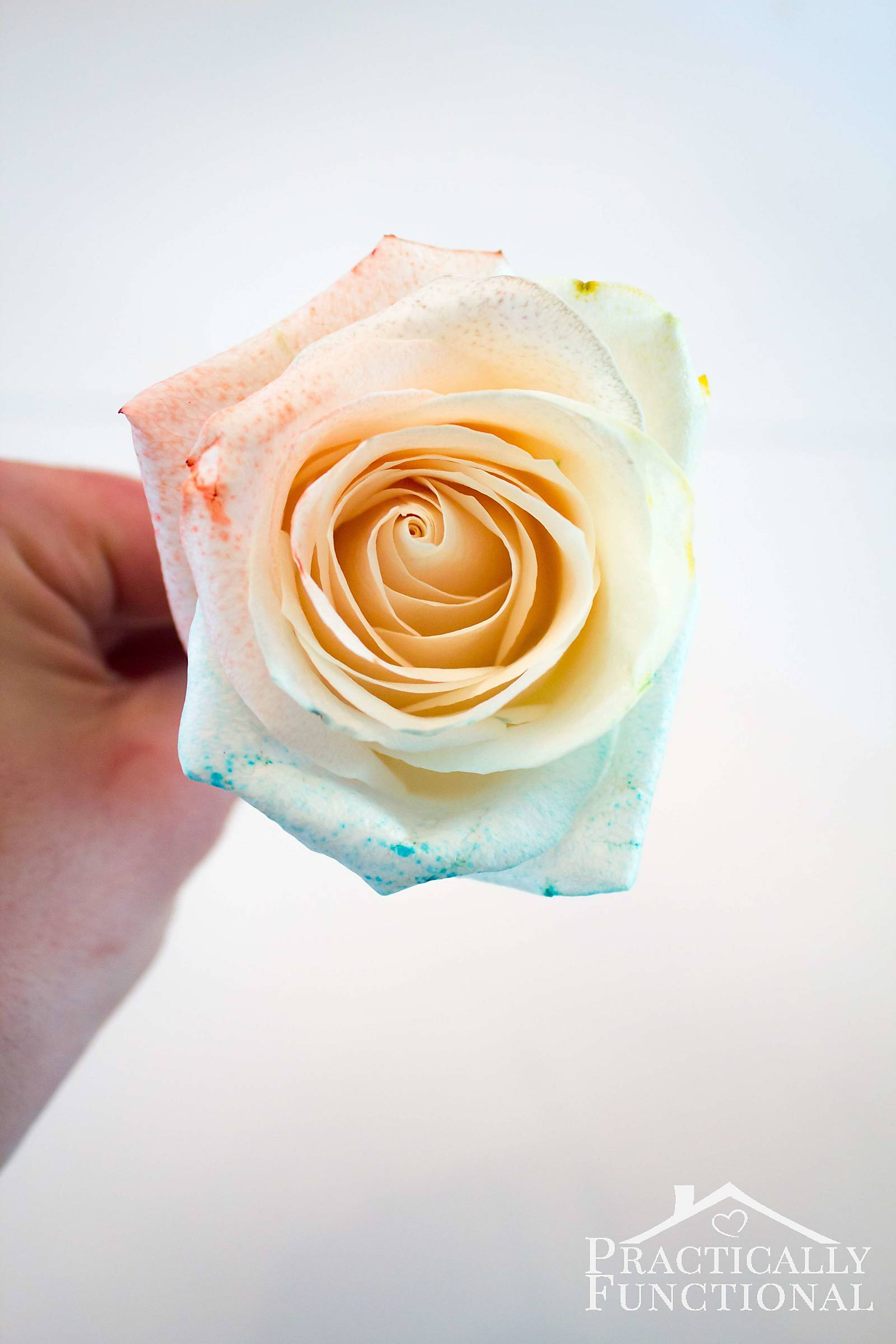 Diy rainbow roses for How to color roses rainbow