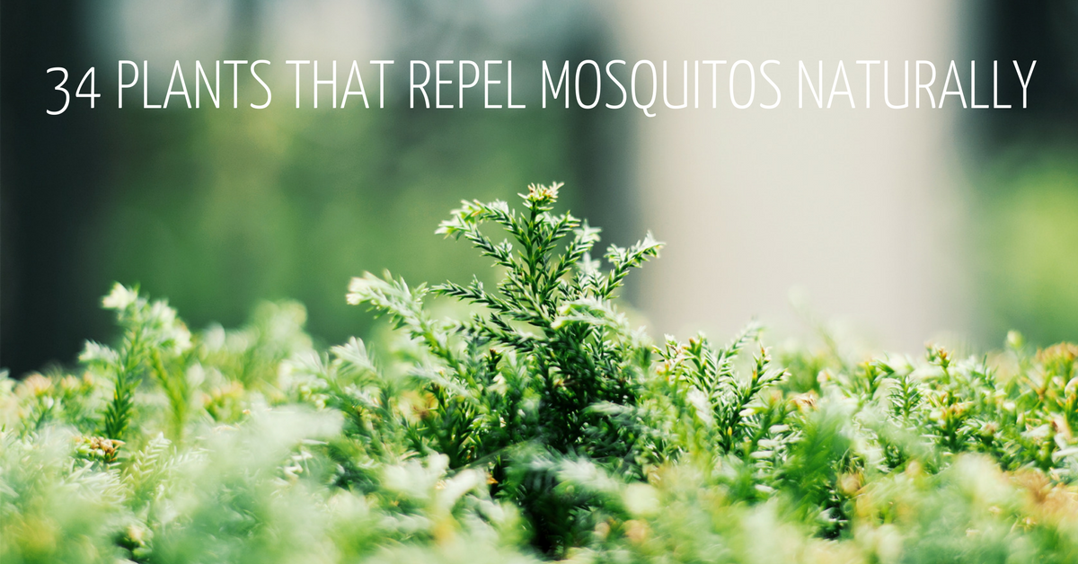 The Ultimate Guide 34 Plants That Repel Mosquitos Naturally