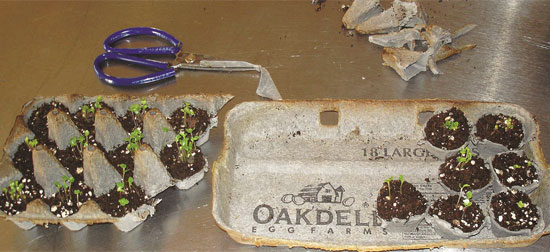 Egg cartons as seed starter pots