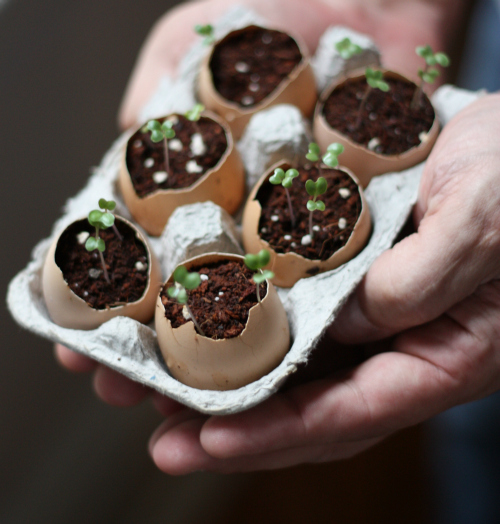 Eggshells as homemade seed starters