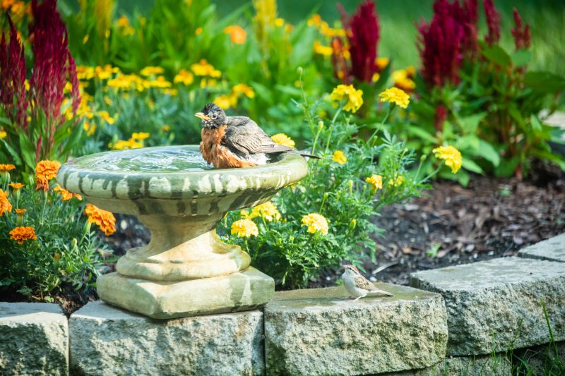 Robin enjoying a bird bath in a bird friendly backyard on a hot day