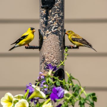 Finches feeding on backyard feeder with flowers