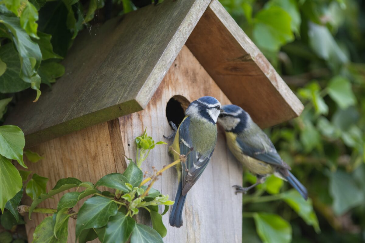 A pair of Blue Tits at a nesting box in a backyard