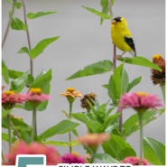 """Black and yellow finch perched on colorful zinnia flowers in a bird friendly backyard with text """"5 simple ways to attract birds to your backyard!"""""""