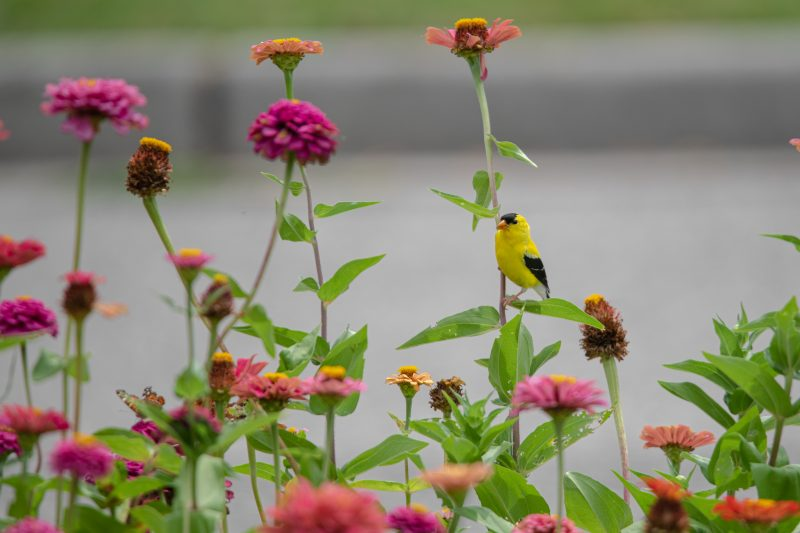 A yellow and black finch bird perches among purple, red, orange, and pink zinnia flowers in a bird friendly backyard
